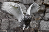 Owl flaps its wings: A polar owl chick with large yellow eyes si