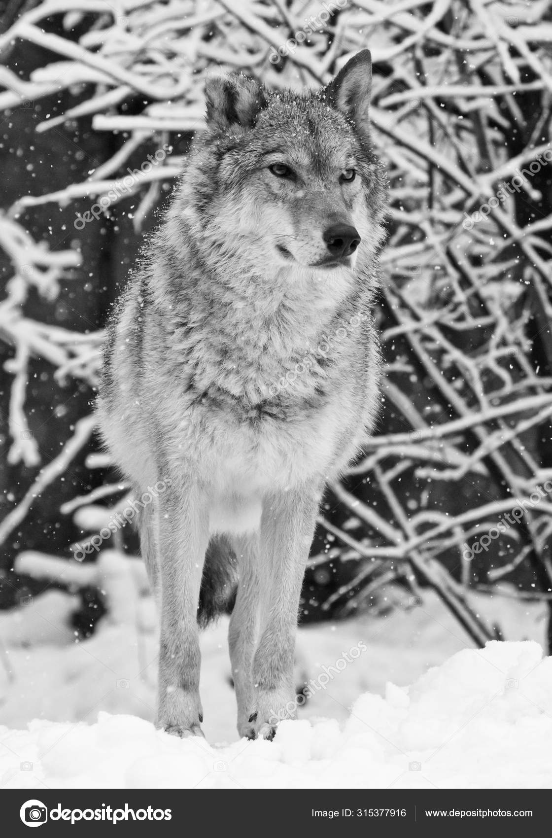 ᐈ Black And White Wolves Stock Pictures Royalty Free White Wolf Images Download On Depositphotos