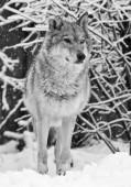 Vlk (samice vlka) krásně a hrdě stojí a vypadá