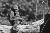 niedliche, aber traurige Teenager-Gorillababy sitzt auf einem Baum mit einem traurigen fac