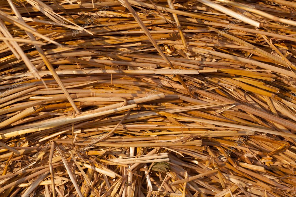 Closeup of texture of golden dry straw
