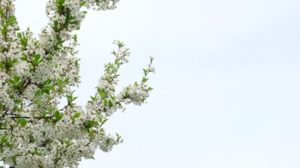 Fehér cseresznyevirág virágzik a kertben. Virágzó fák tavasszal az országban.