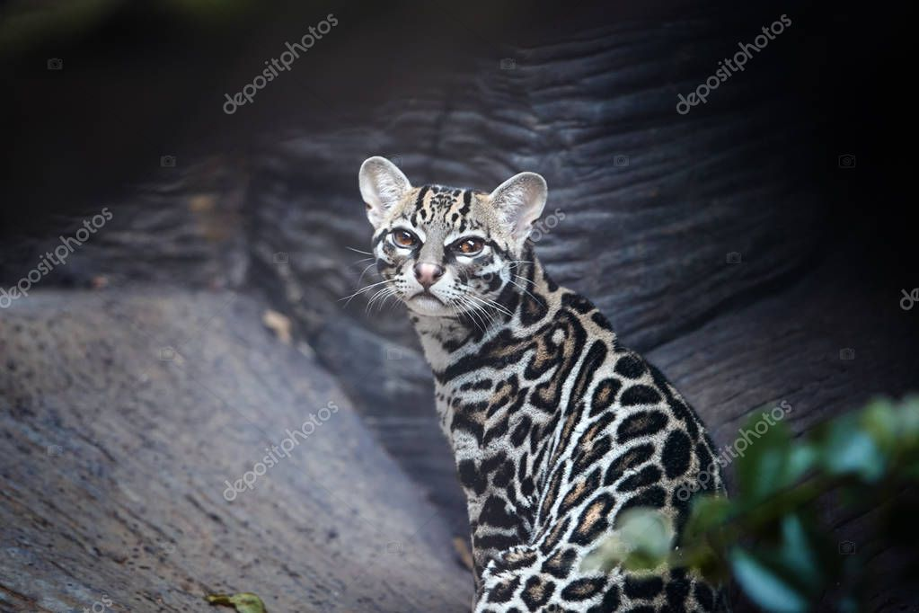Portrait of  Margay, Leopardus wiedii, small, nocturnal wild cat native to Central and South America staring directly at camera. Wild cat with fur marked with rosettes.  Costa Rica.