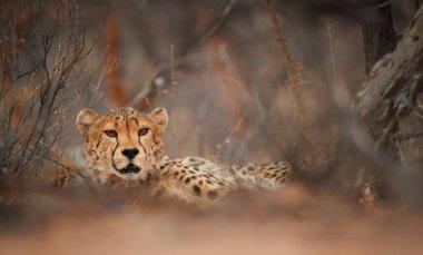 Eyes of wild Cheetah, Acinonyx jubatus, hidden behind branch, staring directly at camera. Ground level photography. Typical Etosha dry forest environment. Etosha national park, Namibia.