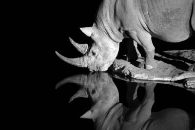 Portrait, black and white photo of black rhinoceros, Diceros bicornis, drinking from the waterhole in night. Rhino is reflected in the water, isolated on black. Endangered animal, Etosha, Namibia.