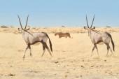 Etosha Landschaft. Zwei große Antilopen mit spektakulären Hörnern, Gemsbok, Oryx gazella, beobachten die Löwin. Tierszene auf trockener afrikanischer Savanne. Tierfotografie, Etosha Nationalpark, Namibia.