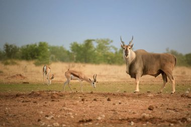 Huge Eland antelope,Taurotragus oryx, male with twisted horns staring at camera in typical arid environment  of Etosha national park. Wildlife photography, Namibia.