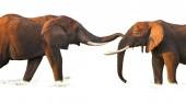 Afrikai elefántok csoportja fehér háttérrel