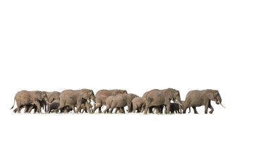 Group of african elephants on white background stock vector
