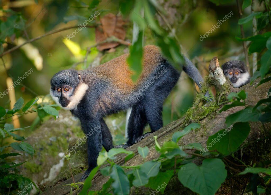L'Hoest's monkey, Allochrocebus lhoesti, two mountain monkeys in dense, mountainous Bwindi Impenetrable Forest. Wildlife photography in Uganda. stock vector