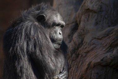 Wild African animals, chimpanzee
