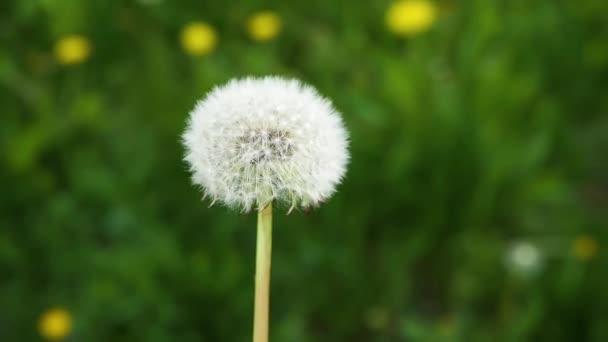 Léčivá pampeliška.Polní pampeliška.Farmaceutický květ.
