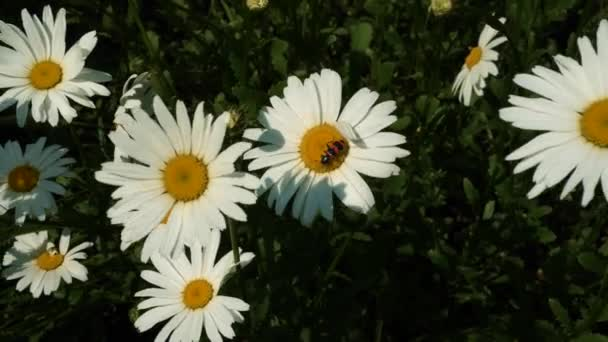 Egy piros kis bogár kúszik a virágon.Egy rovar beporozza a virágot.
