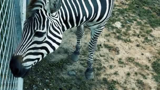 Közelkép zebra rágás élelmiszer, áll a réten, legeltetés, állat csíkos, szarvasmarha.