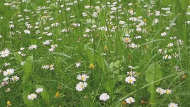 Heřmánek květiny na poli s kamerou pohyb, zblízka, krásná krajina