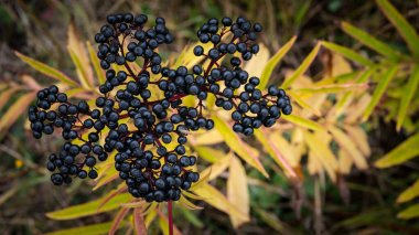 A branch of a ripe elderberry on a plantation in the countryside