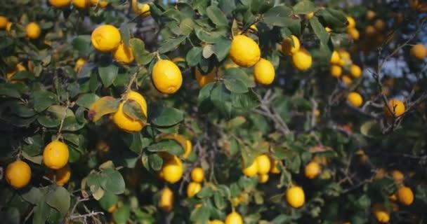 Picture of ripe lemons in garden