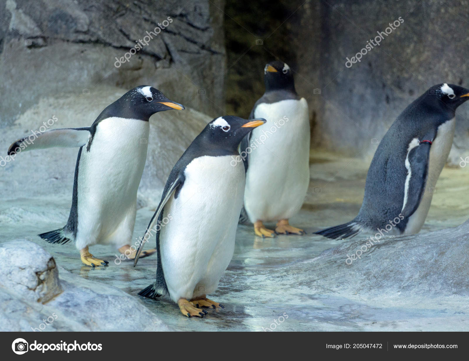 group gentoo penguins rock penguin spreading its wings cute animals