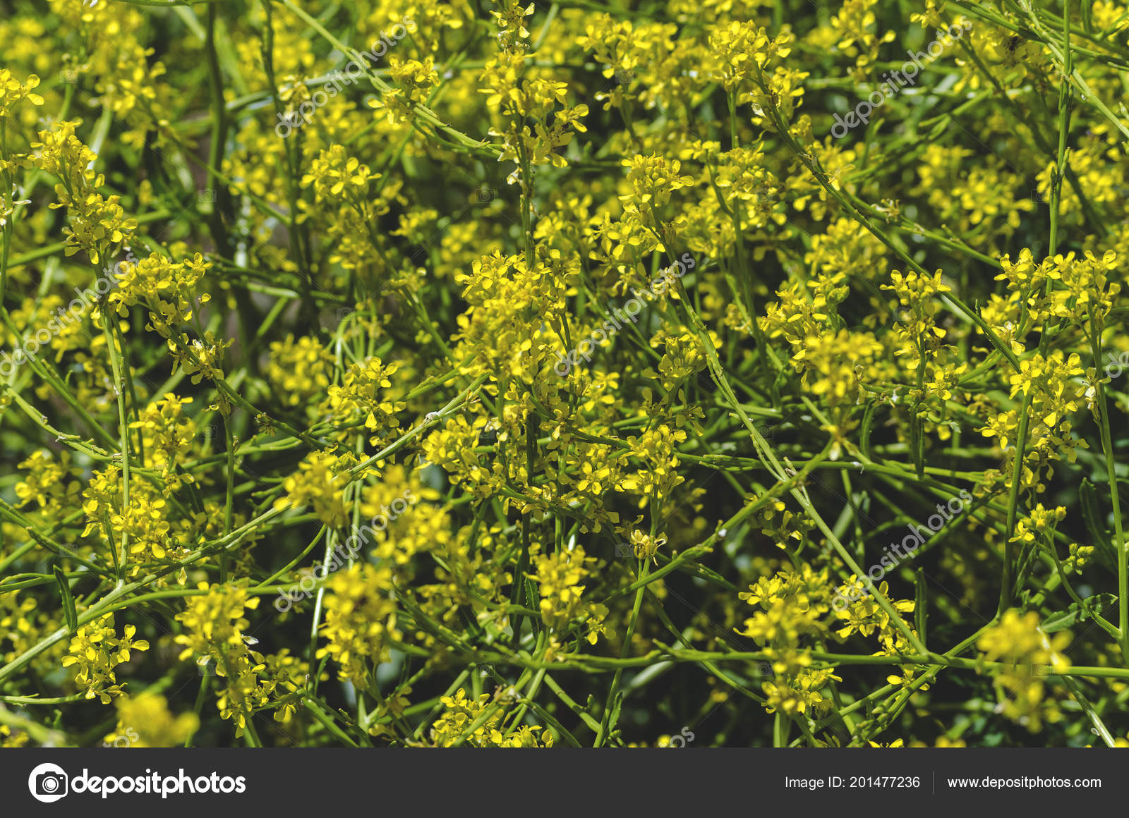 Yellow Perennial Field Wild Weed Flowers Field Stock Photo