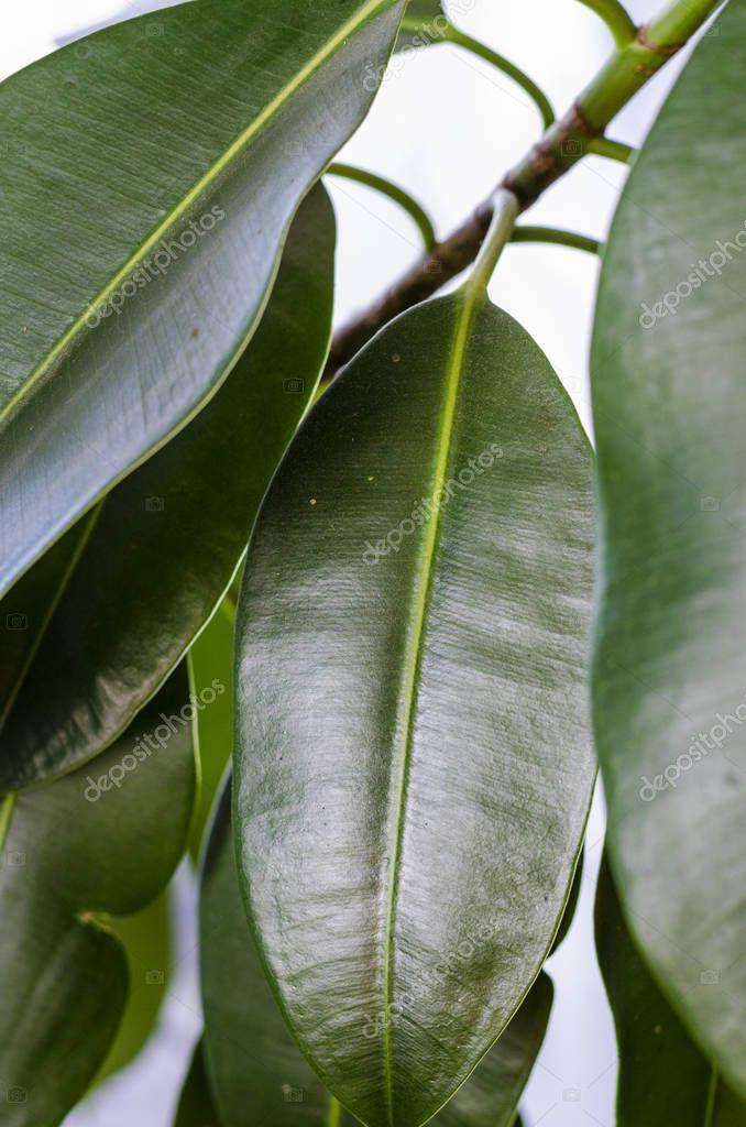 ficus leaves close up