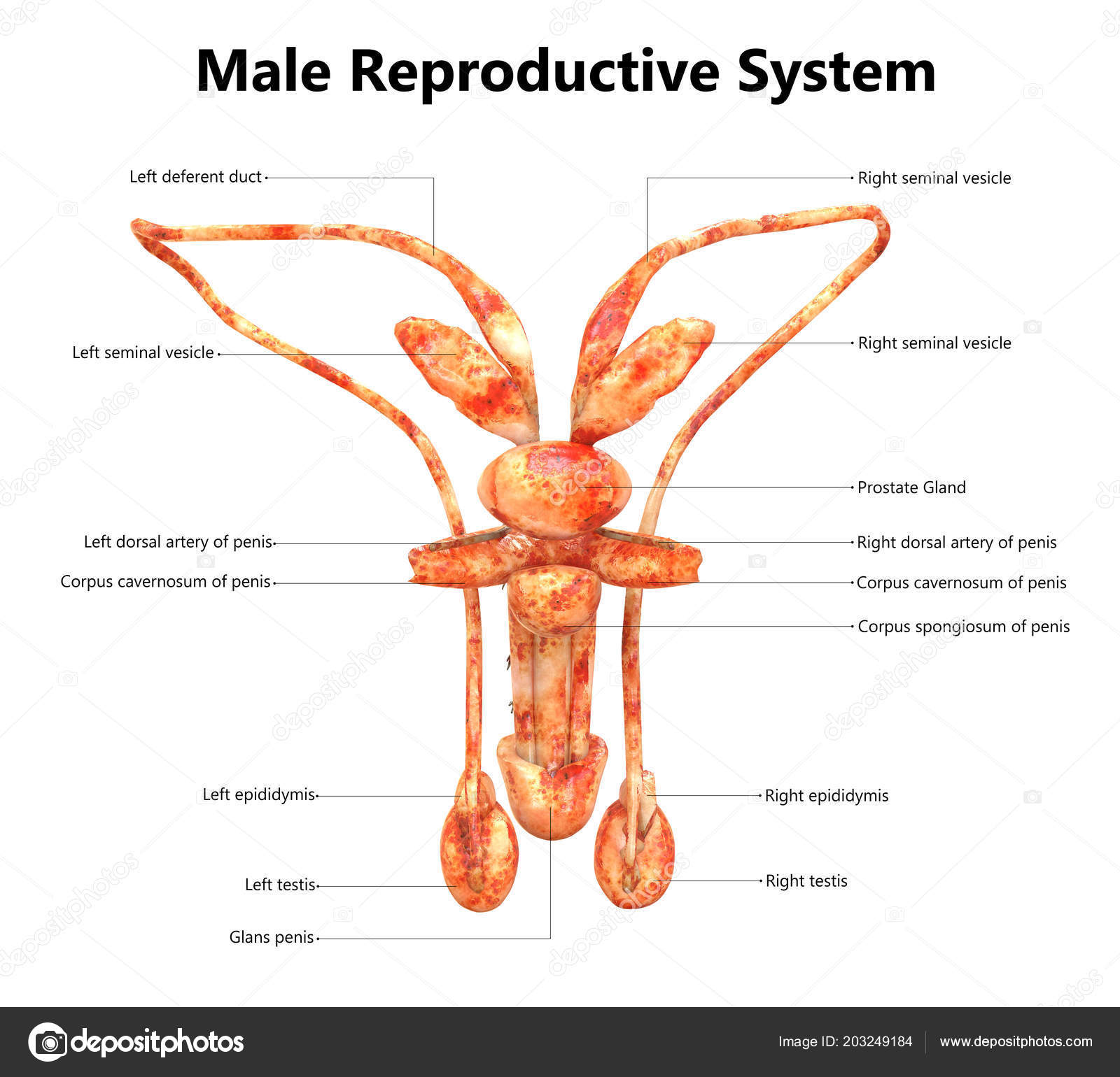 Male Reproductive System Labels Anatomy — Stock Photo © magicmine ...