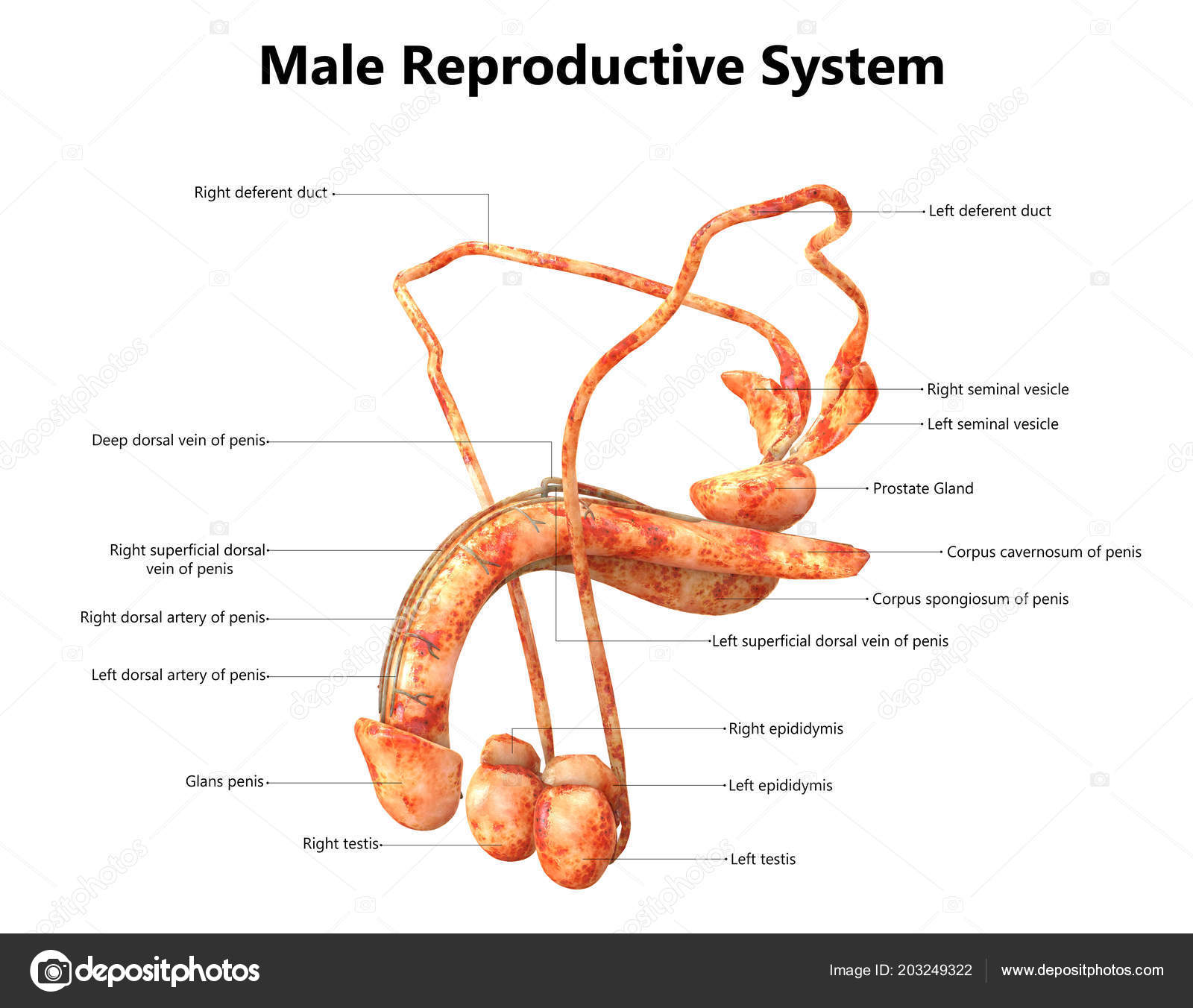 Male Reproductive System Labels Anatomy Stock Photo Magicmine