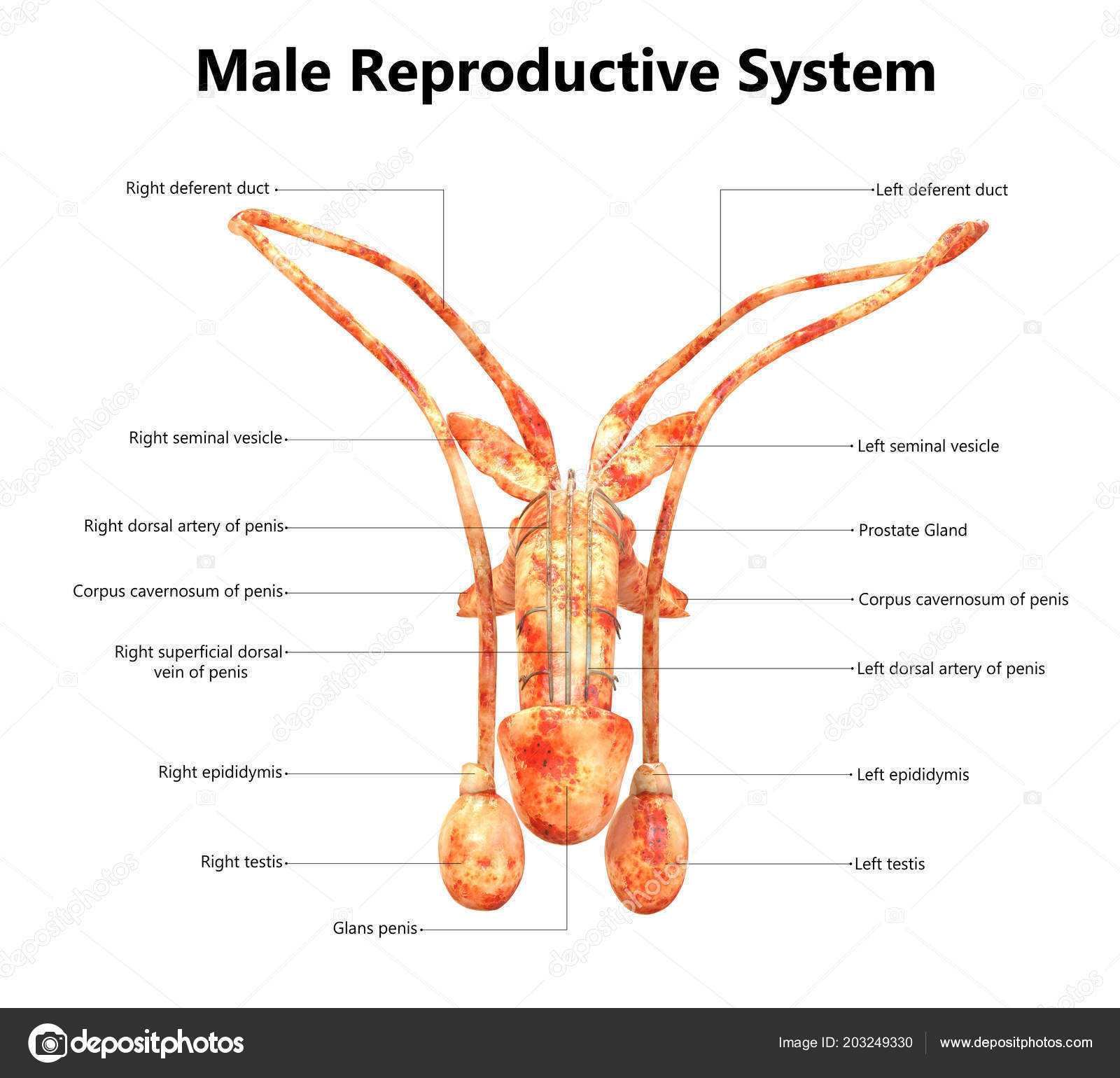 Male Reproductive System Labels Anatomy Magicmine