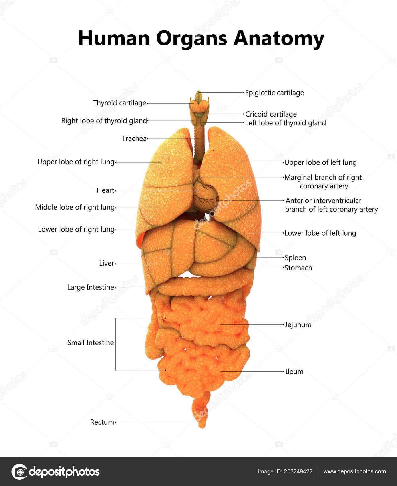 Abbildung Des Menschlichen Krpers Organe Anatomie Stockfoto
