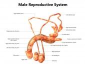 Mužský reprodukční systém s popisky anatomie
