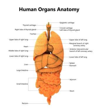 3D Illustration of Human Body Organs Anatomy