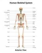 Fotografia illustrazione 3D del sistema scheletro umano anatomia