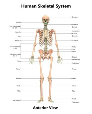 3D Illustration of Human Skeleton System Anatomy