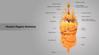 3D Illustration of Human Body Organs Anatomy