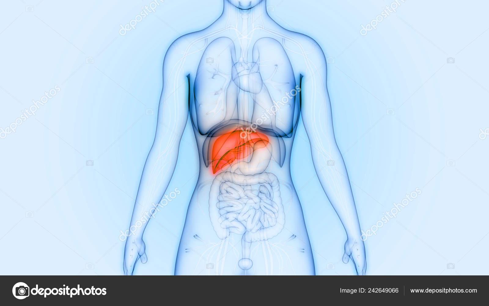 en que parte del cuerpo esta situado el higado