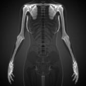 3D Illustration of Human Skeleton System Anatomy