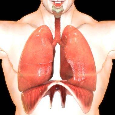 human lungs digital illustration on black background