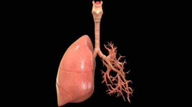3D Illustration of human lungs on black background