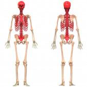 Ilustrace systému lidské kostry a anatomie