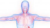 Emberi belső rendszer nyirokcsomók anatómia. 3D