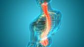 Páteřní sloupec anatomie lidského kosterního systému