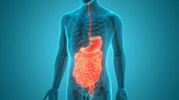 Lidský trávicí systém (anatomie žaludku). 3D
