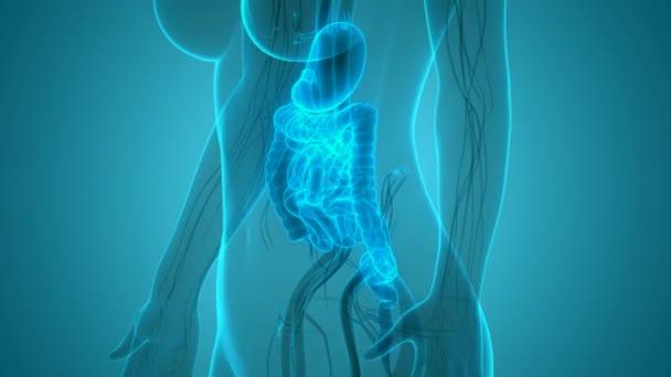 3D animace koncepce anatomie lidského zažívacího traktu