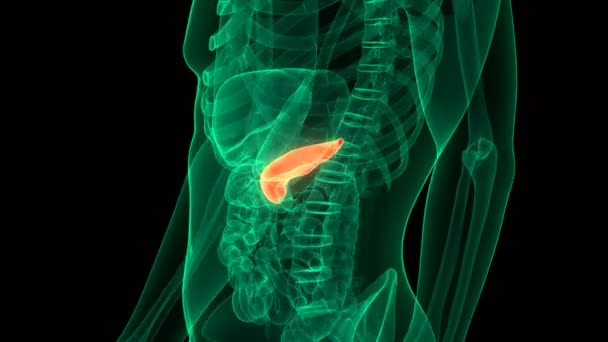 Anatomie lidských vnitřních orgánů ve slinivce břišní. 3D