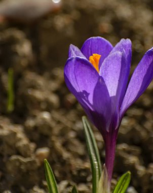 The first spring purple flowers crocuses in the garden in St. Petersburg.