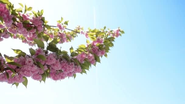 Sakura szép cseresznye virág a kék ég háttér tavaszán