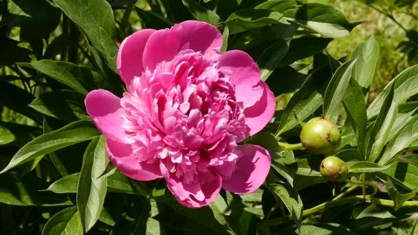 Detail bud čaj růže květ, kvetoucí v sluneční světlo. Keře růžové olej růže květiny v zahradě. Zpomalený pohyb