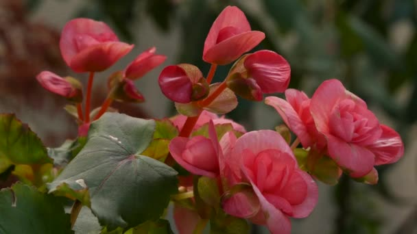 Rose Flower blooming in sun light. Bushes of pink oil rose flowers in a garden. Tea rose. 4K