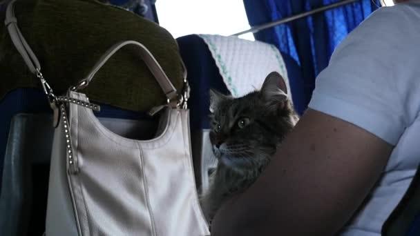 Katze auf den Händen der Gastgeberin im Bus. Transport eines Haustieres in öffentlichen Verkehrsmitteln