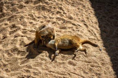 """Картина, постер, плакат, фотообои """"meerkat (suricata suricatta) в зоопарке барселоны. постеры животные"""", артикул 406174342"""