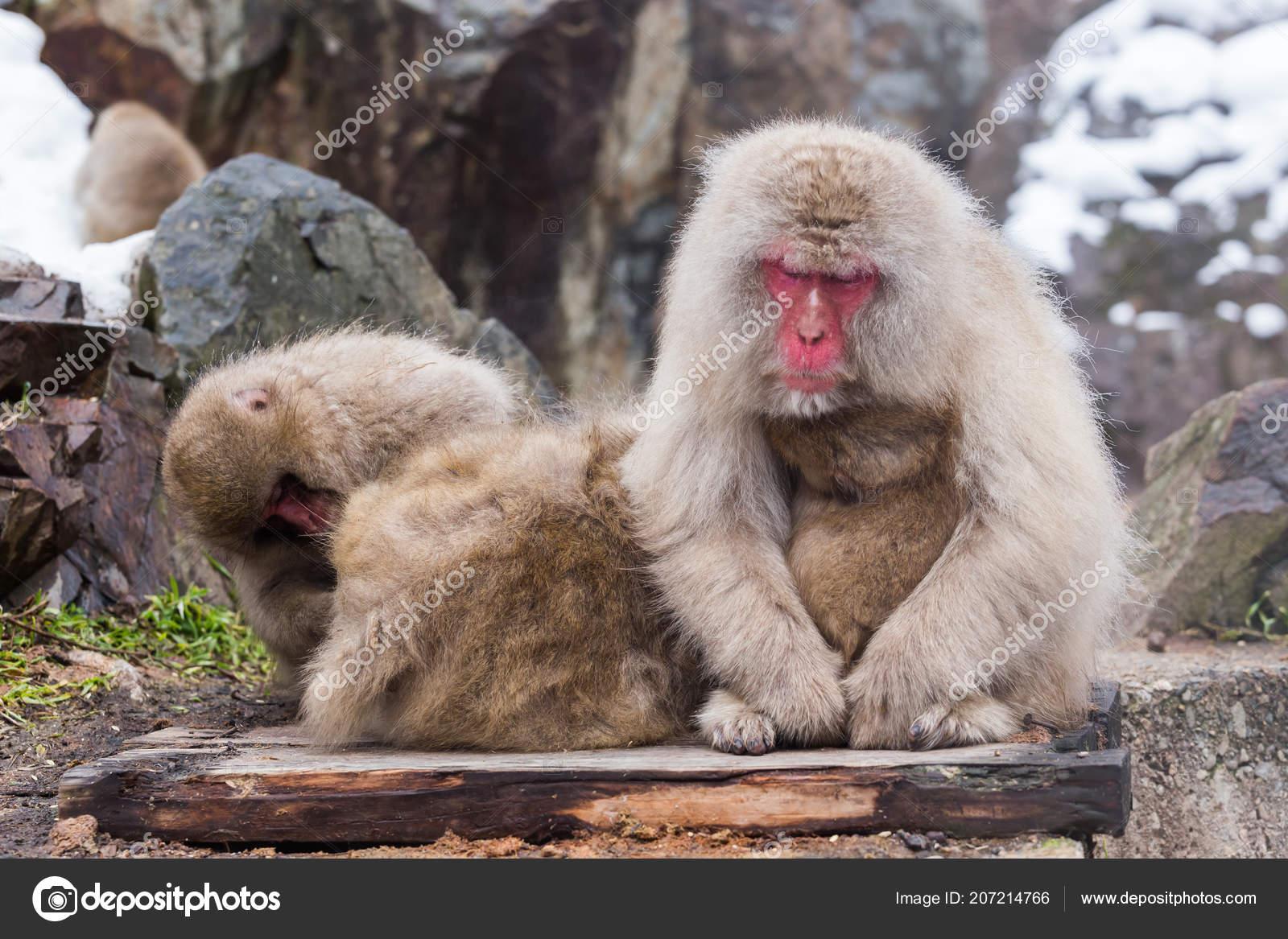 Monos Natural Onsen Aguas Termales Situado Mono Nieve Nagano Japón